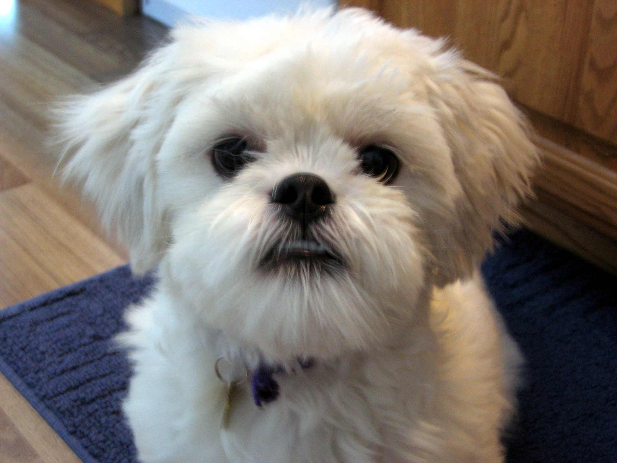 Lhasa Apso Dog Breed » Information, Pictures, & More