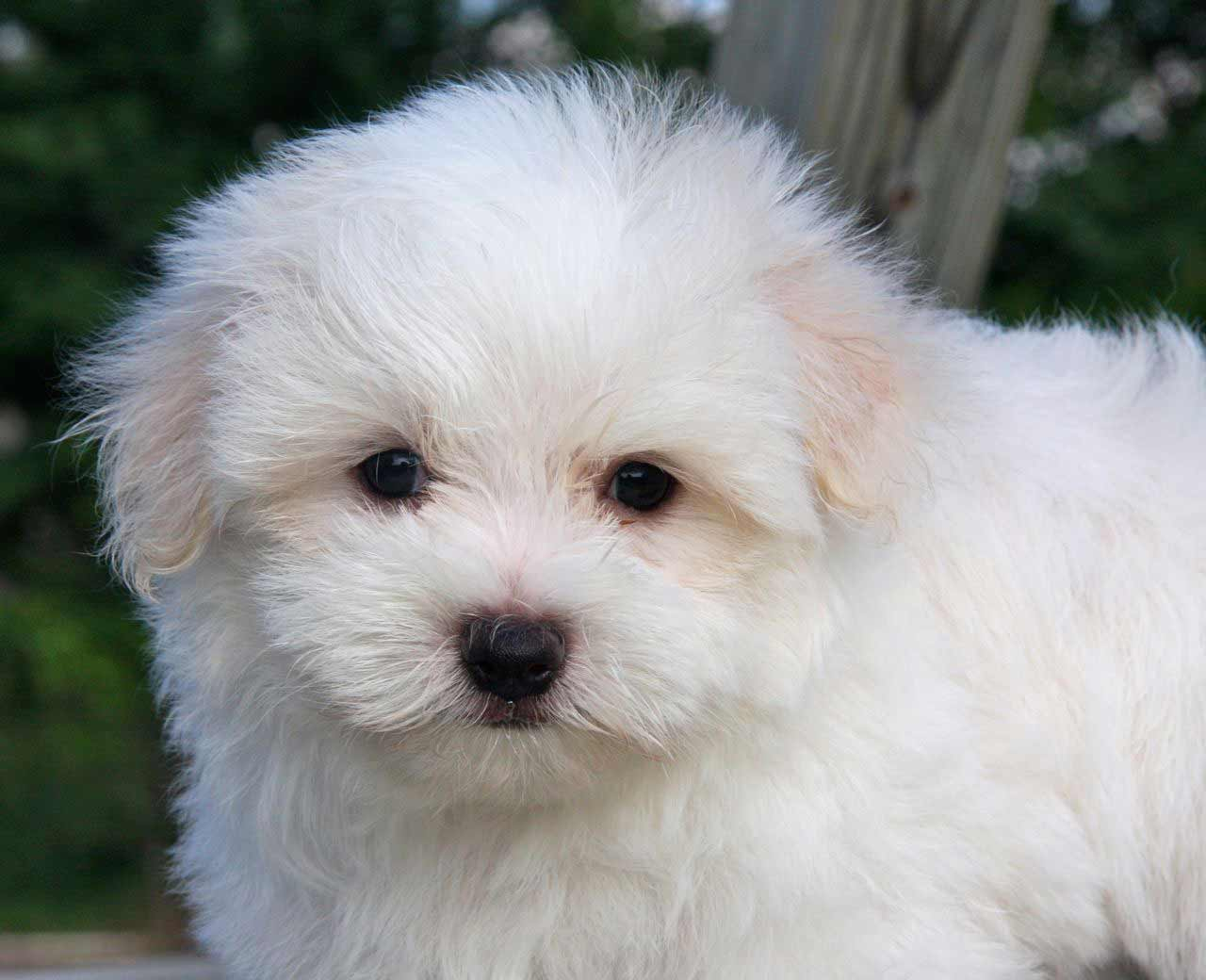 maltese photos below are pictures of the maltese dog breed