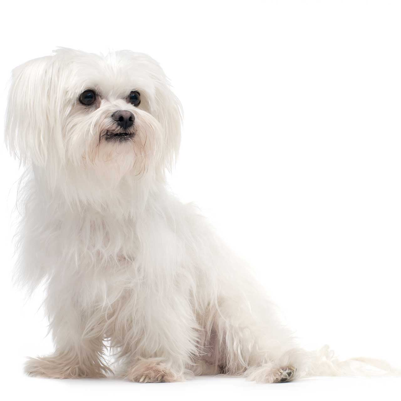 Maltese Dog Breed » Information, Pictures, & More