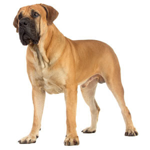 Mastiff Dog Breed 187 Information Pictures Amp More