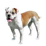 Mastiff · Miniature Australian Bulldog Dog Breed
