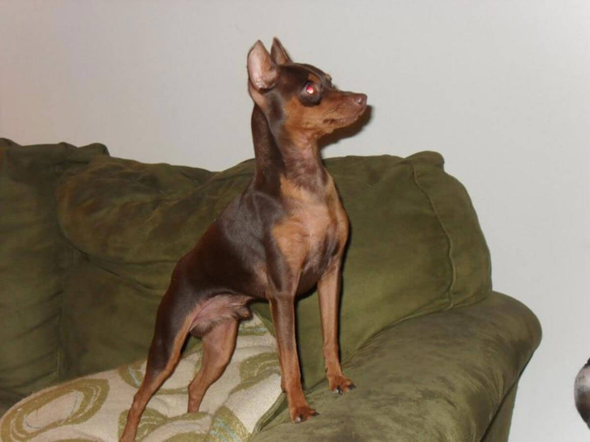 Miniature Pinscher Dog Breed » Information, Pictures, & More