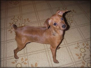 Miniature Pinscher Dog Breed 187 Information Pictures Amp More