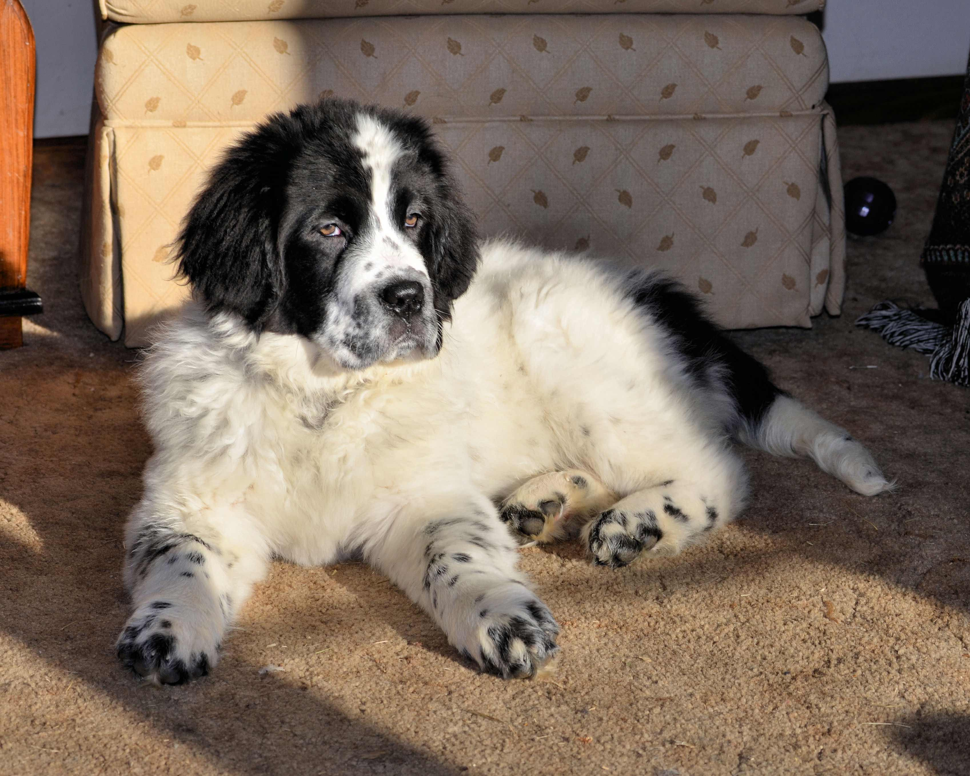 Newfoundland Dog Breed » Information, Pictures, & More