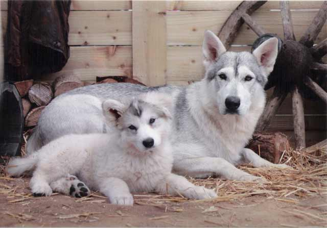 http://www.dog-learn.com/dog-breeds/northern-inuit-dog/images/northern-inuit-dog-u5.jpg