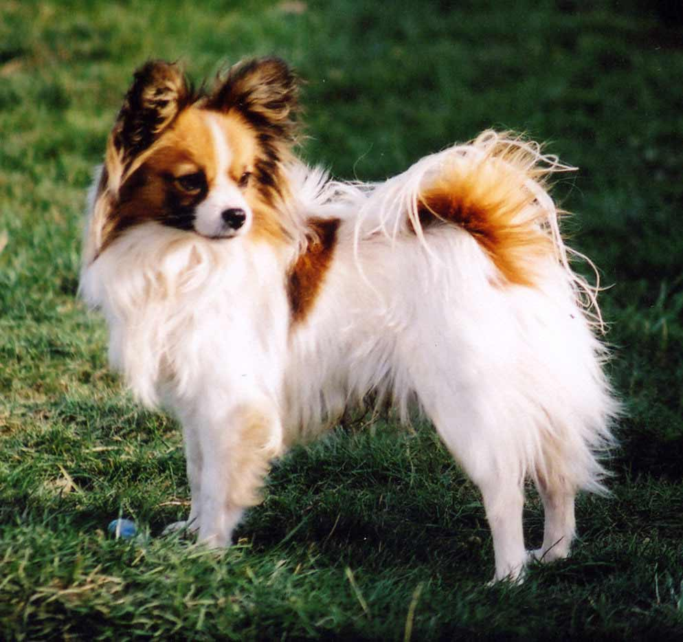 Papillon Dog Breed » Information, Pictures, & More