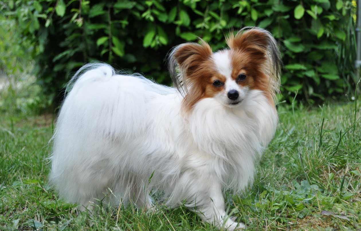 Papillon dog breed information pictures more - Images de papillon ...