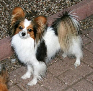Papillon Dog Breed 187 Information Pictures Amp More