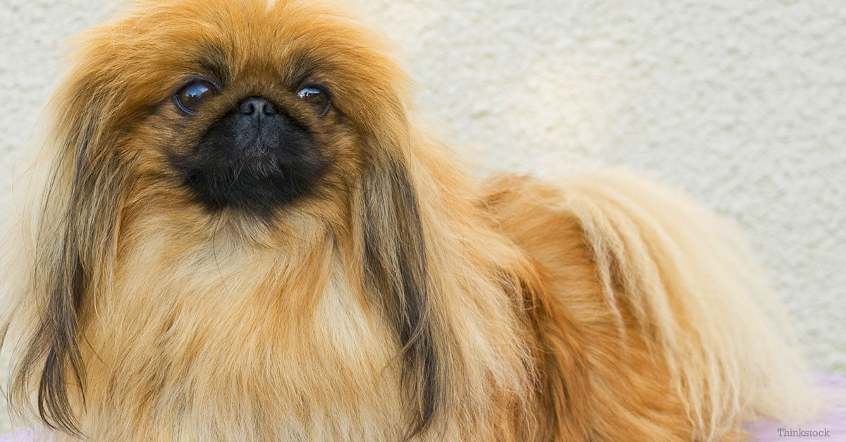 Pekingese Dog Breed » Information, Pictures, & More