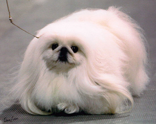 Puppy Pekingese Dog