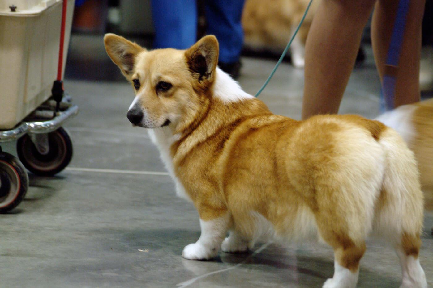 Pembroke Welsh Corgi Dog Breed » Info, Pics, & More