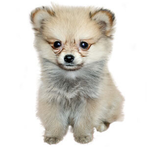 dog breeds dog names dog coloring home dog breeds pomchi