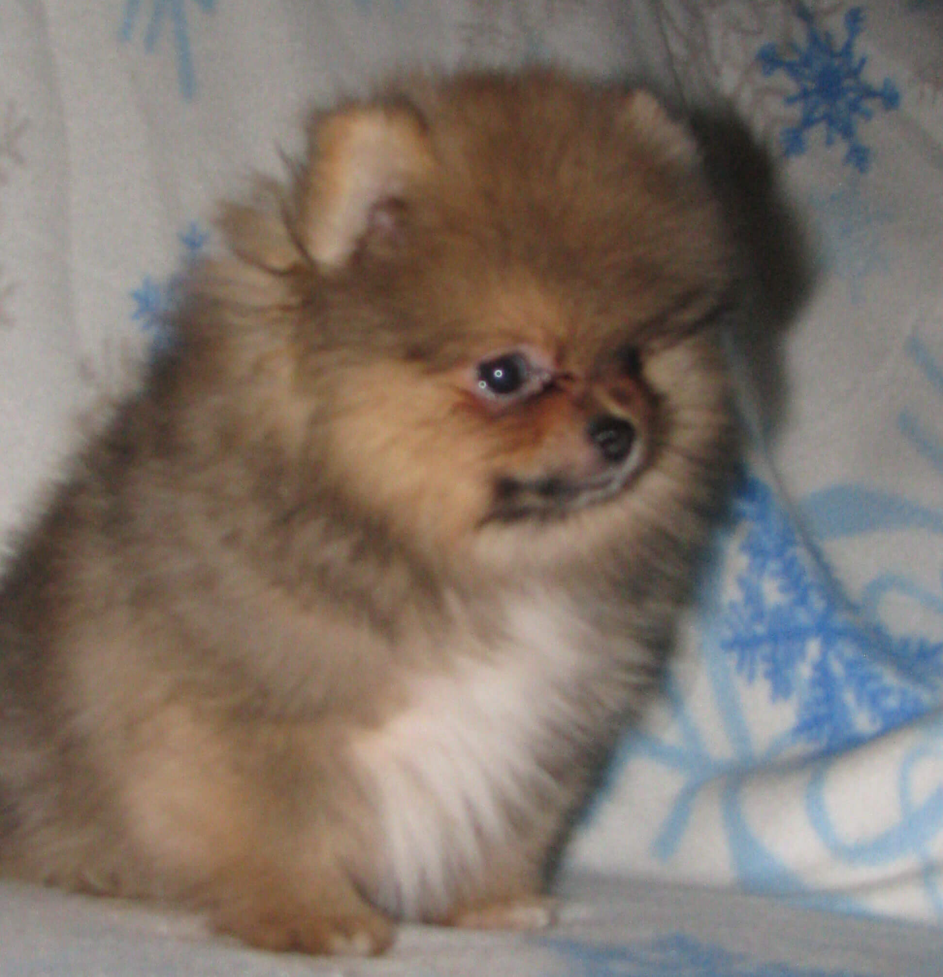 Beaver Pomeranian Related Keywords - Beaver Pomeranian ...