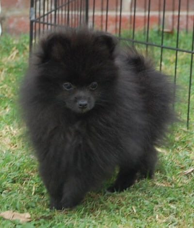 Pomeranian Dog BreedCute Black Pomeranian Puppy Pictures