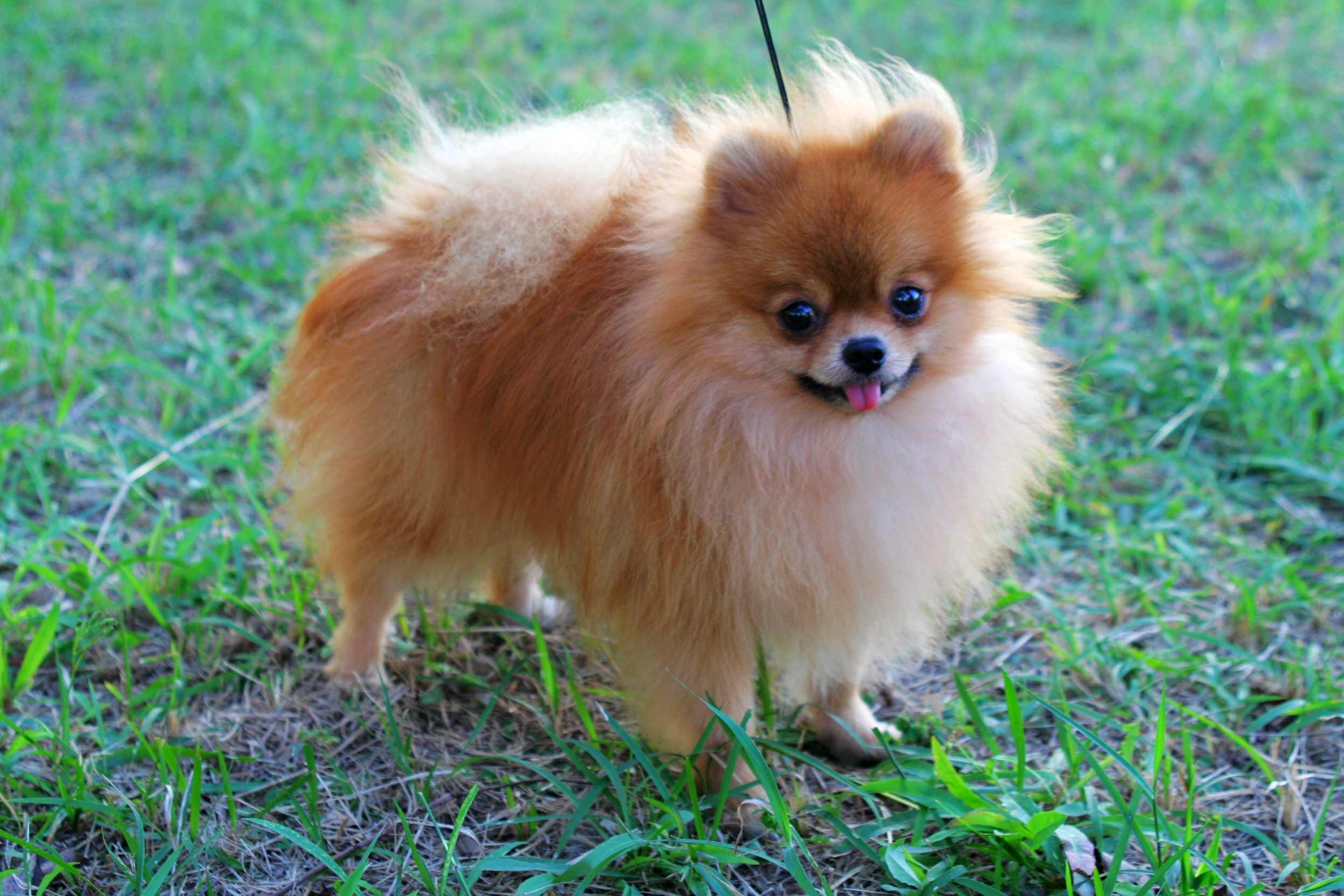 Pomeranian Dog Breed » Information, Pictures, & More