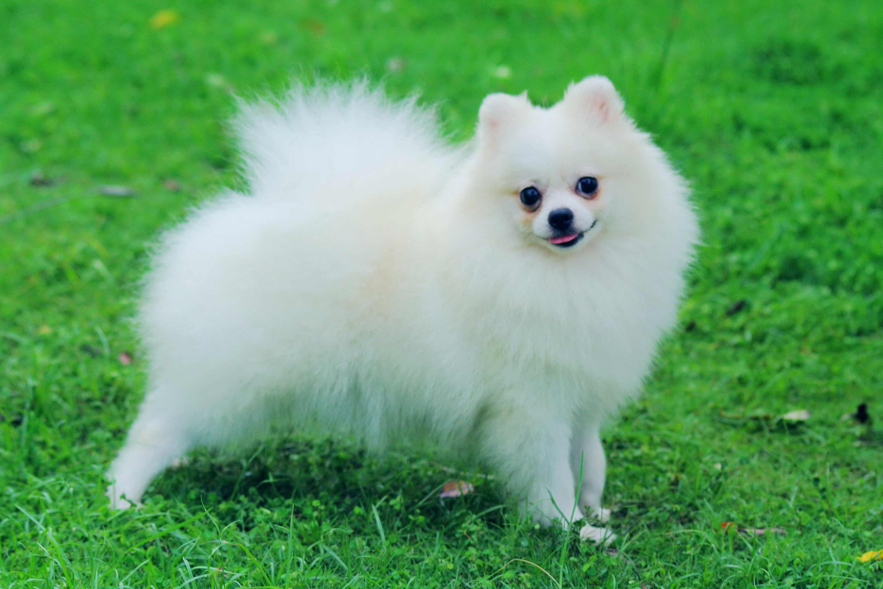 Pomeranian Dog Breed 187 Information Pictures Amp More
