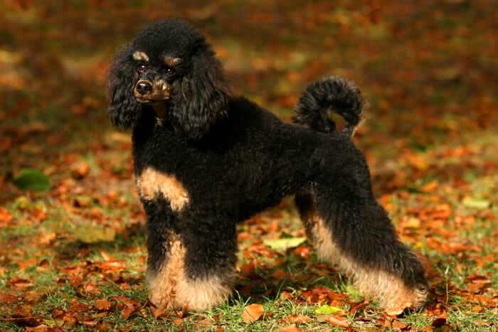 Poodle Dog Breed » Information, Pictures, & More