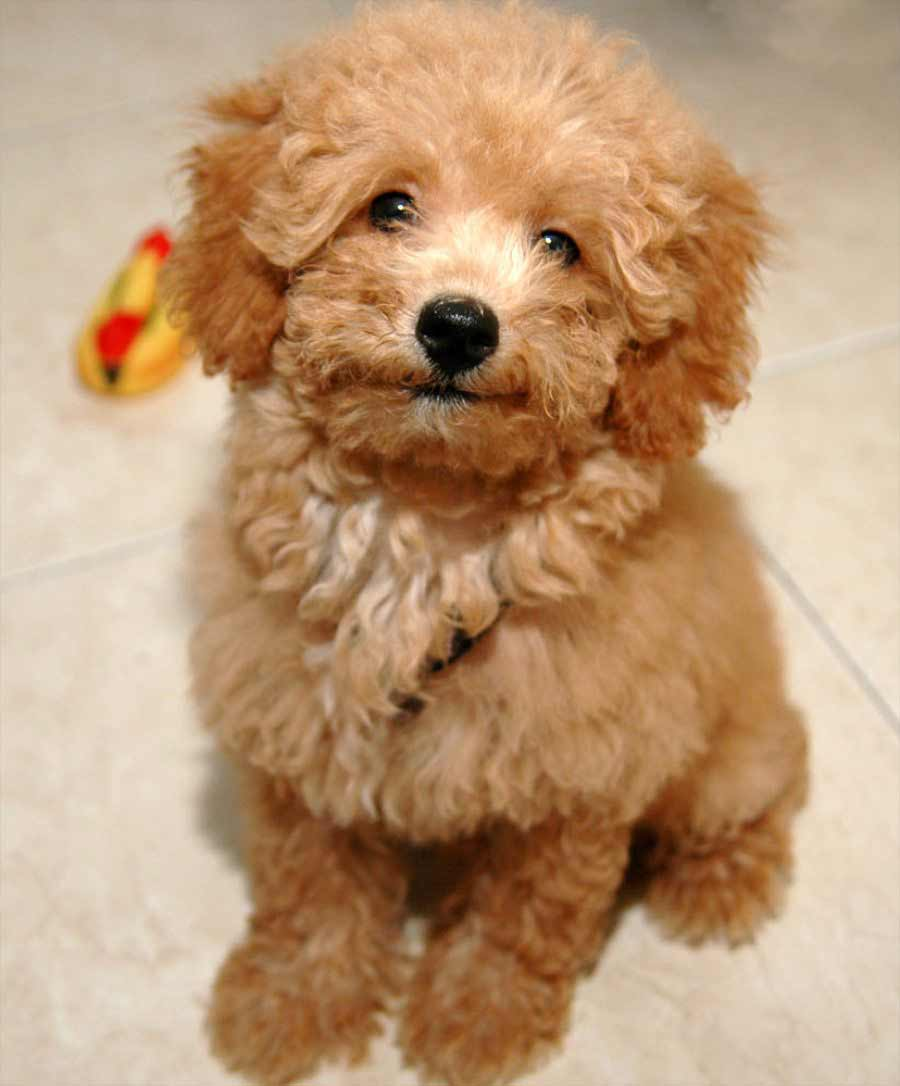 Miniature Toy Dogs : Poodle dog breed information pictures more