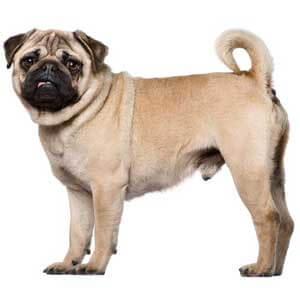 Amy Pughouse Pug Puppy 583128 | PuppySpot