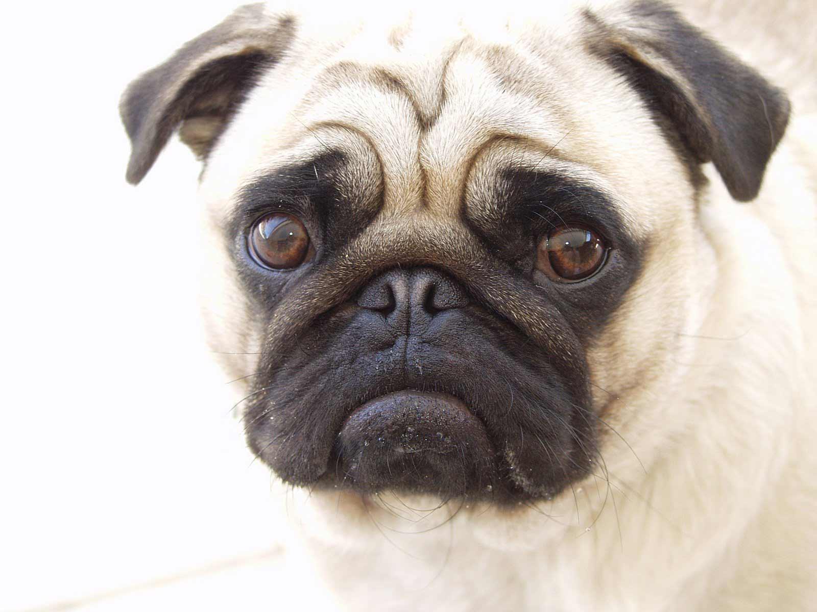 Pug Dog Breed Profile | Petfinder
