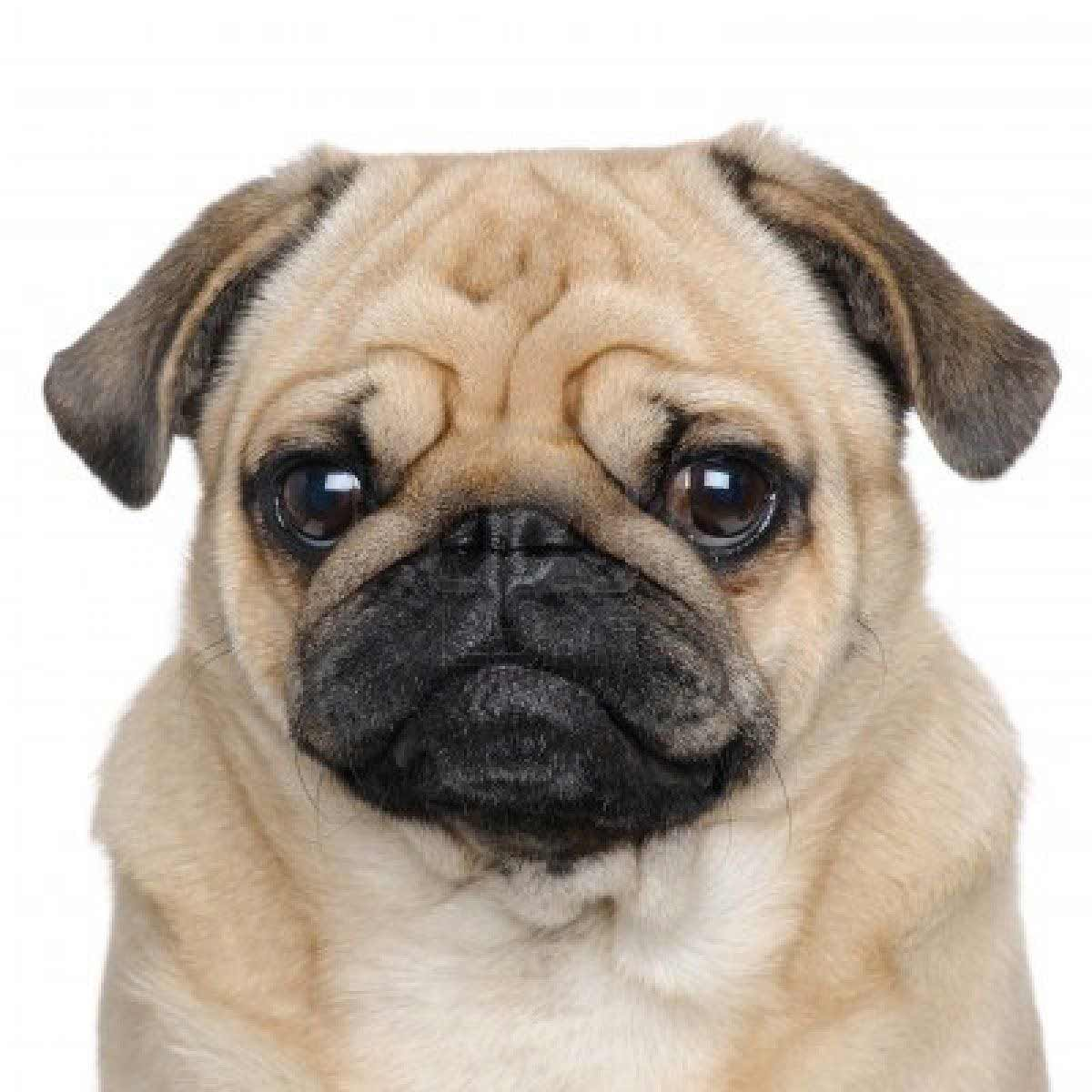 Chinese Names For Pug Dogs