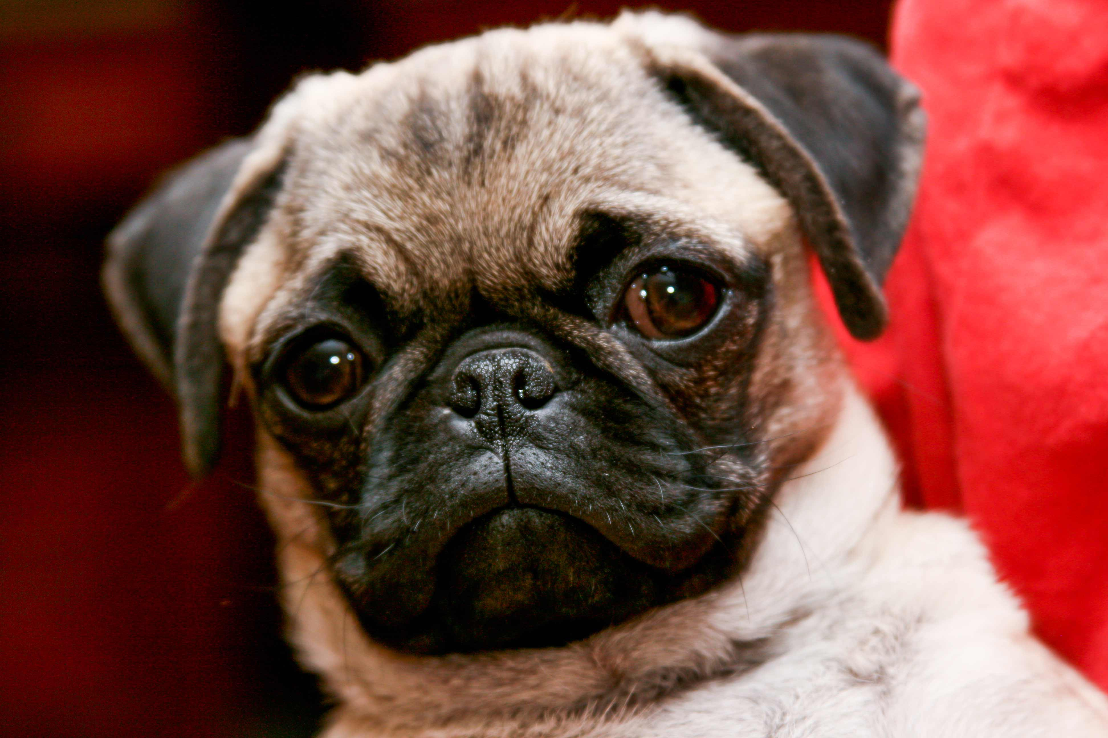 Pug Dog Breed » Information, Pictures, & More