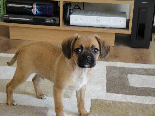 Pugalier Dog Breed 187 Information Pictures Amp More