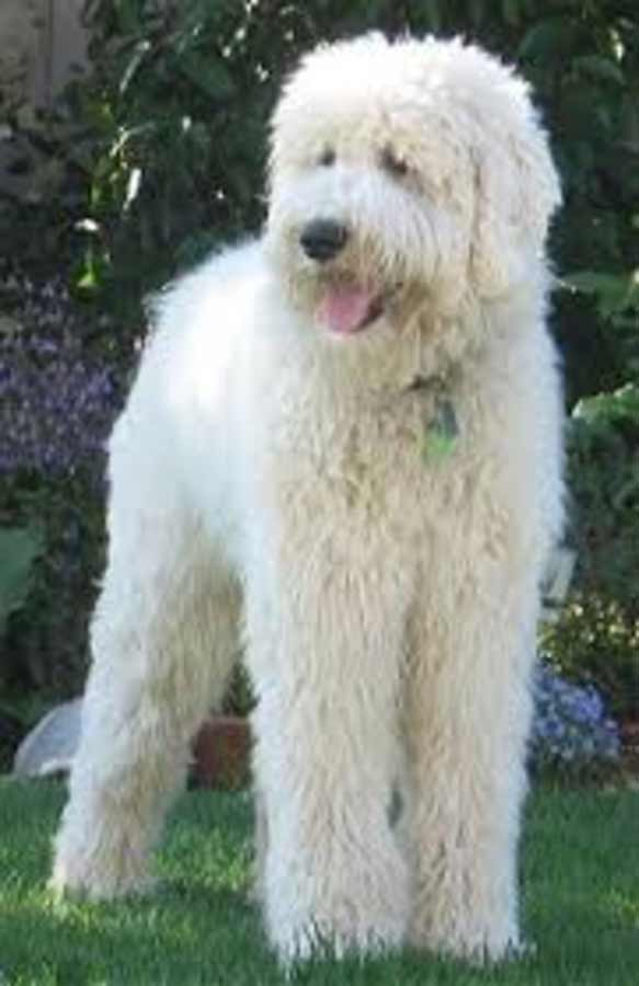 Pyredoodle Dog Breed 187 Great Pyrenees Amp Poodle Mix