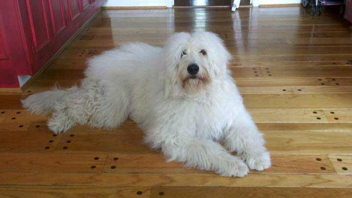 Great Pyrenees Dog Breed Standard