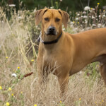 Light Wheaten Ridgeback