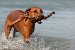 Rhodesian Ridgeback Playing in the Water