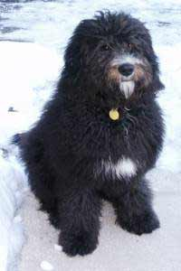 Saint Berdoodle Dog Breed 187 Information Pictures Amp More