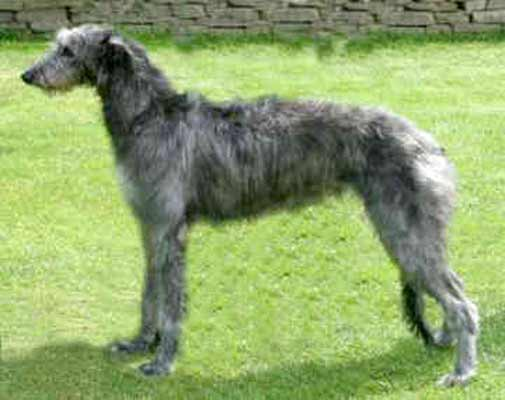 Scottish Deerhound Dog Breed » Information, Pictures, & More