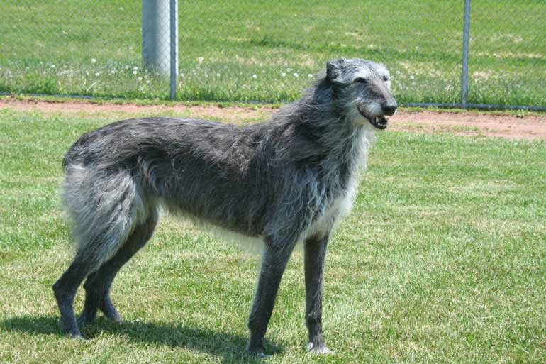 Large Breed Dog Rescue California