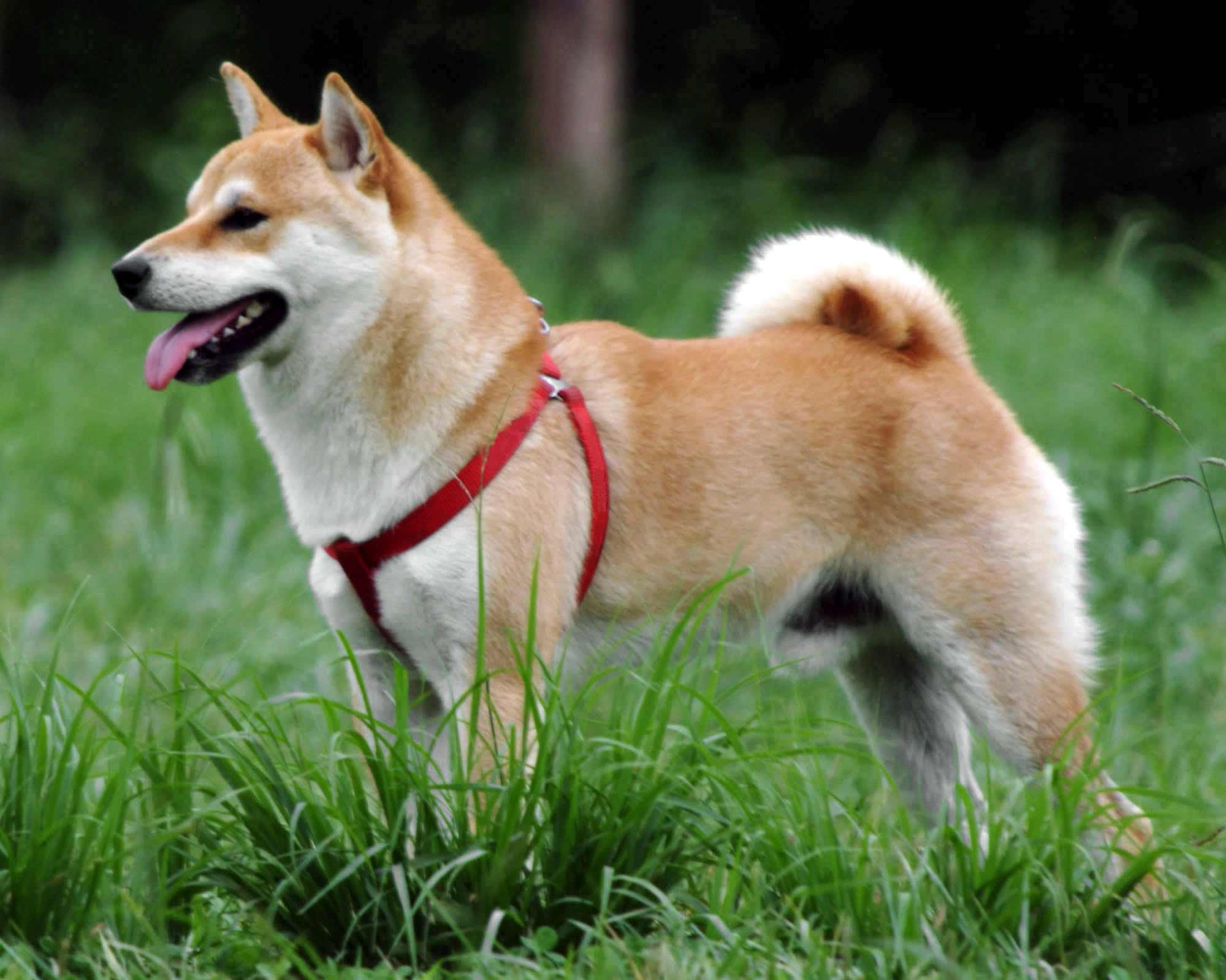 Shiba Inu Breed 187 Information Pictures Amp More