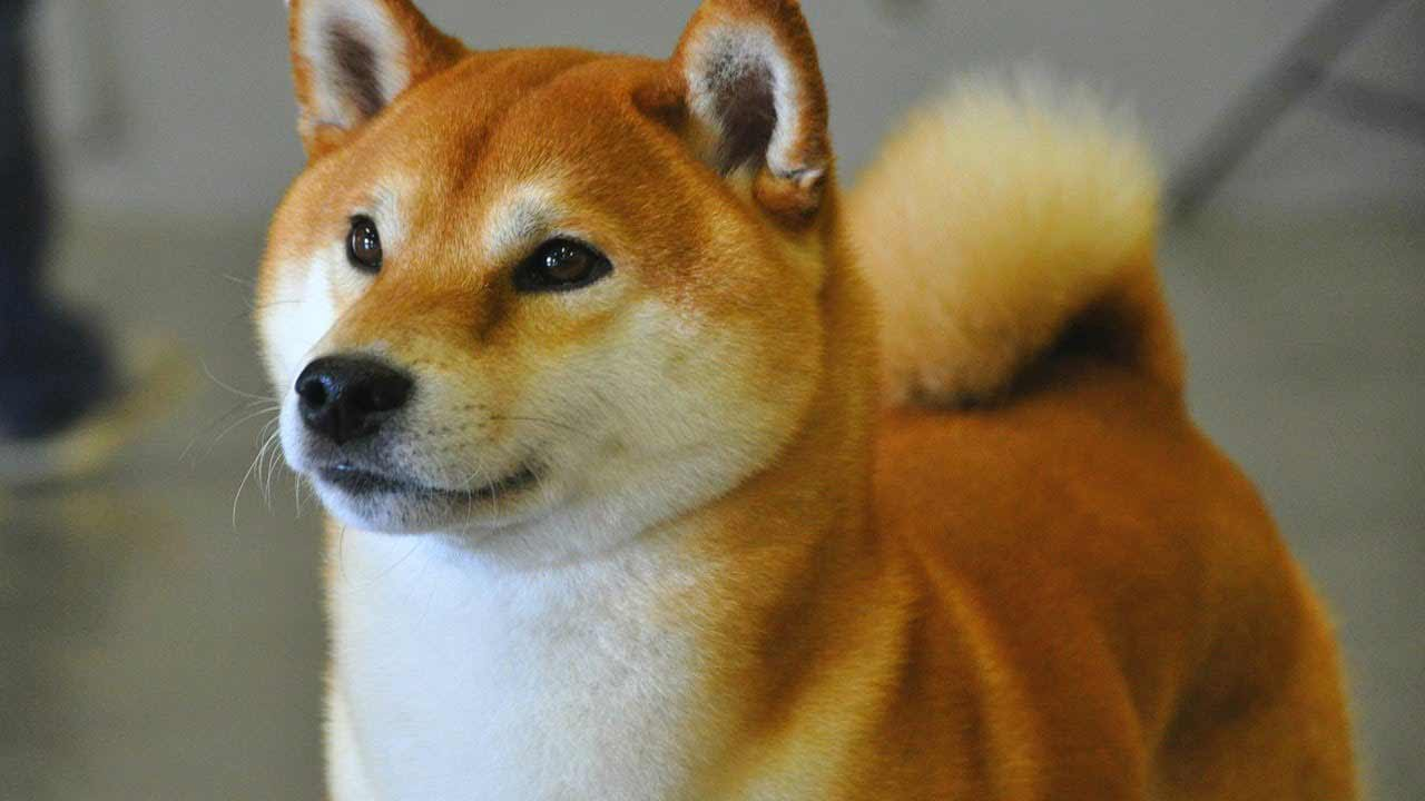 Shiba Inu Breed » Information, Pictures, & More