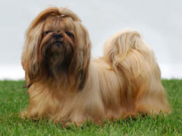 Shih Tzu Dog Breed 187 Information Pictures Amp More