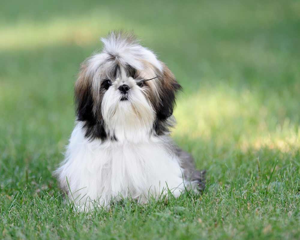 Shih Tzu Dog Breed » Information, Pictures, & More