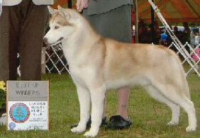 Siberian Husky Dog Breed 187 Information Pictures Amp More
