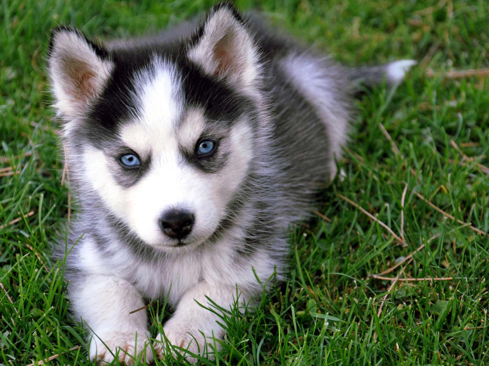 Siberian Husky Dog Breed » Information, Pictures, & More
