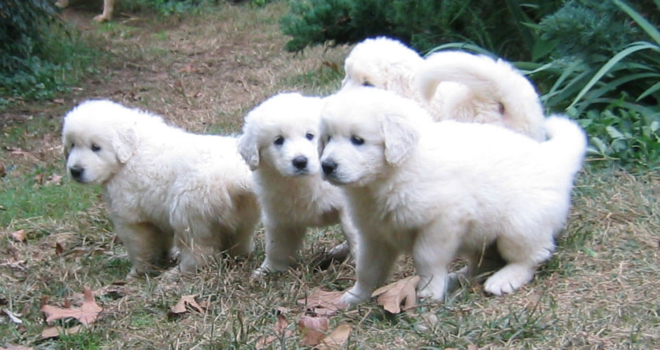 Slovak Cuvac Dog Breed 187 Information Pictures Amp More