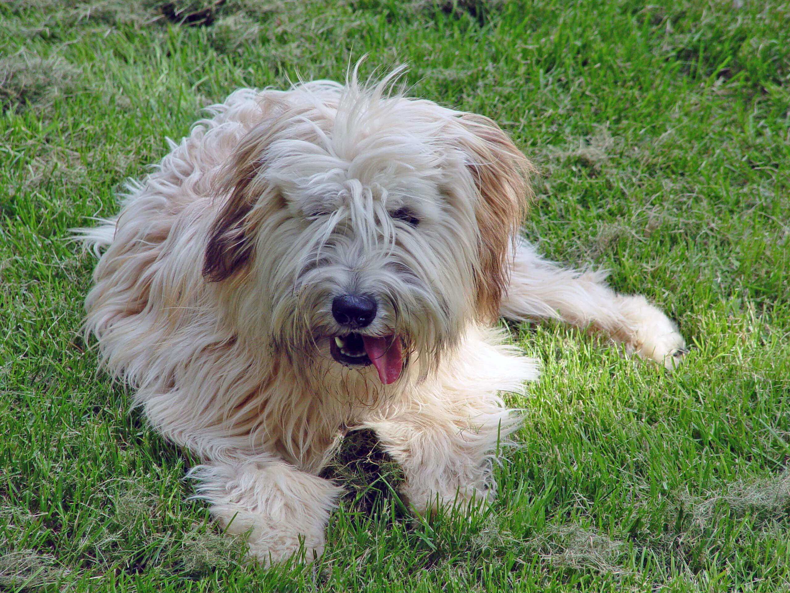 wheaten terrier maintenance this dog is fairly low maintenance their ...