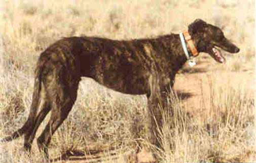 Staghound Dog Breed 187 Information Pictures Amp More