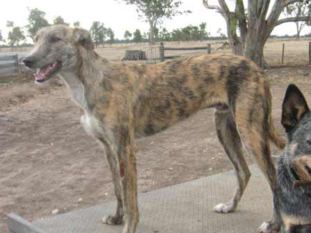 Staghound Dog Breed » Information, Pictures, & More