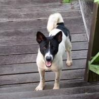 Black And White Telomian Dog