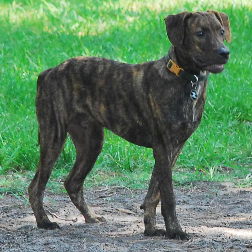 Below are pictures of the Treeing Tennessee Brindle dog breed.