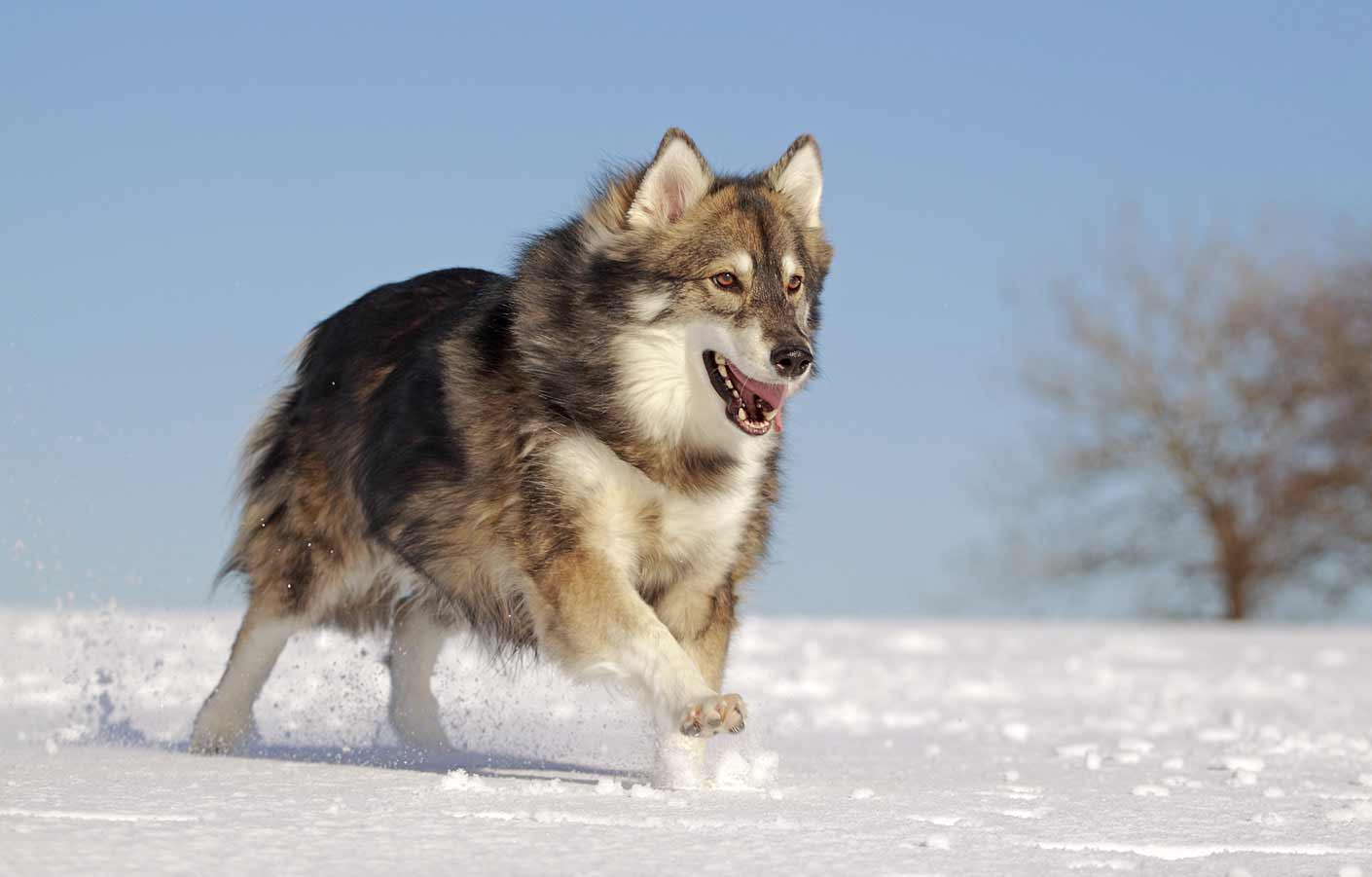 Dogs That Look Like Wolves And Don T Shed