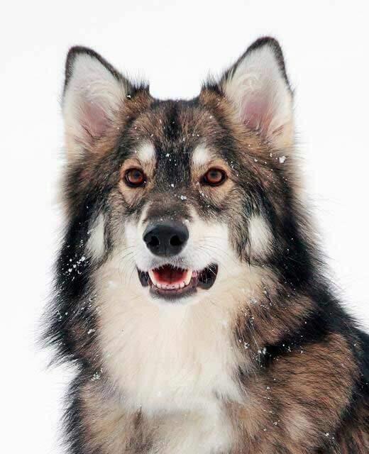 Image Result For Blonde German Shepherd Puppy