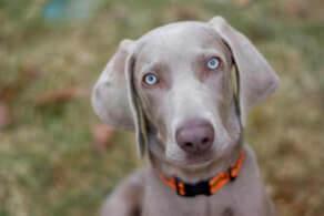 Http Dogtime Com Dog Breeds Weimaraner