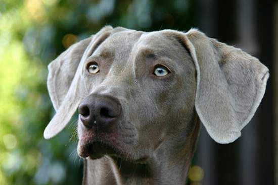 Weimaraner dog breed information pictures more for Weimaraner coloring pages